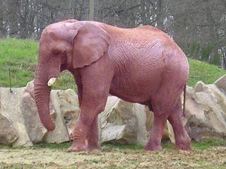 Elephant_rose