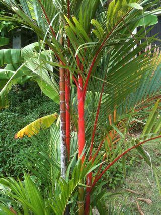 Palmier-rouge