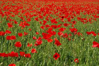 Coquelicots-Opus-Rouge